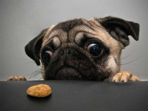 Собаки, которые охотятся за вашей едой (15 фото)