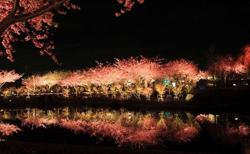 В японском городе Кавадзу зацвела сакура (10 фото)