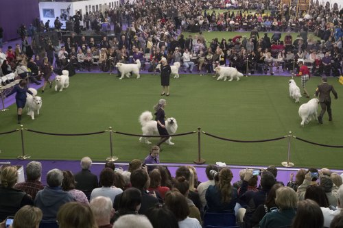 141-я ежегодная выставка собак Westminster Kennel Club в Нью-Йорке (31 фото)