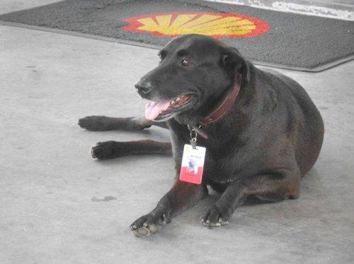 Пёс, брошенный прежними хозяевами у автозаправки, стал её полноправным работником (6 фото)