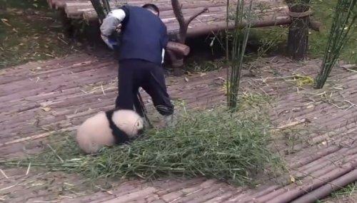 Детёныш панды пристаёт к смотрителю зоопарка, уговаривая поиграть, но тот не сдаётся