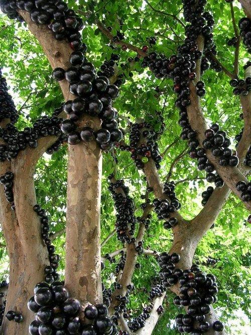 Жаботикаба – дерево, плоды которого растут прямо из ствола