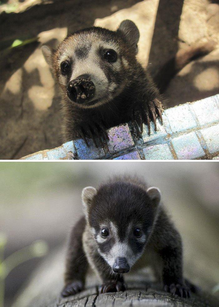 Coati baby