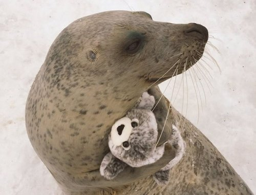 Тюлень получил в подарок плюшевую копию себя, и теперь не расстаётся с ней (3 фото)