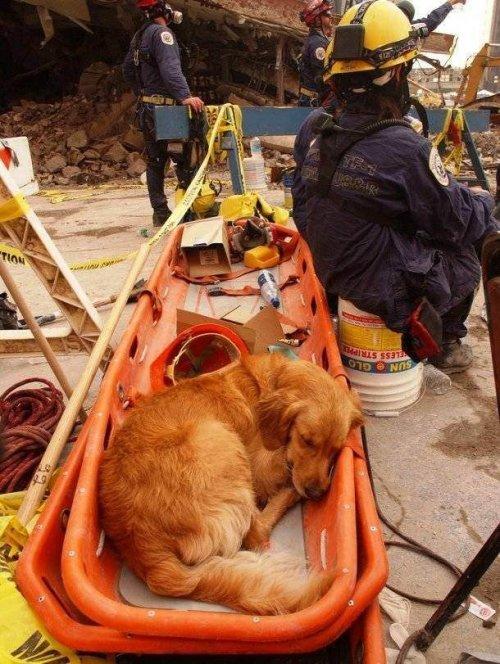 Топ-25: самые любопытные факты про поисково-спасательных собак