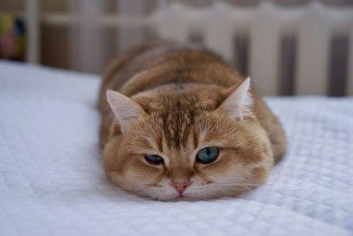 Очаровательный котик Хосико, которого называют Котом в сапогах в реальной жизни (23 фото)