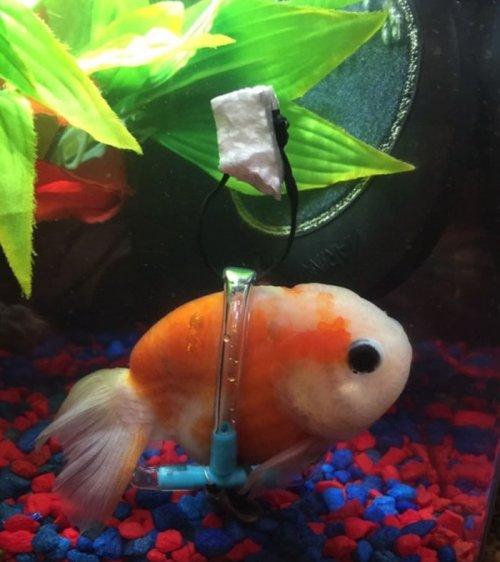 """Парень смастерил для золотой рыбки """"инвалидное кресло"""" (4 фото)"""