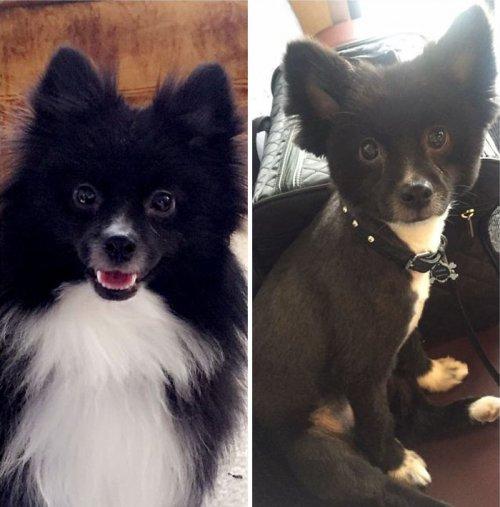 Собаки до и после стрижки (23 фото)