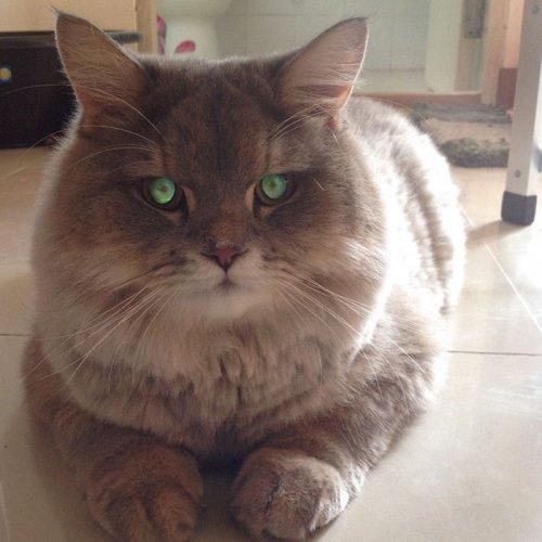 Пушистый кот Bone Bone из Таиланда (13 фото)