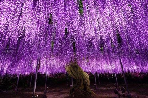 Фестиваль глицинии в Японии (28 фото)
