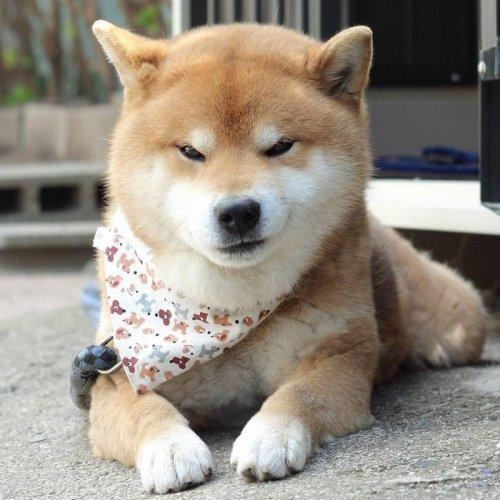 Сиба-ину Рюдзи — самый эмоциональный пёс из Японии (17 фото)