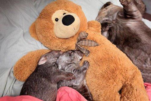 Очаровательные животные, спящие в обнимку с игрушками. Часть 2 (26 фото)