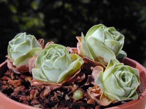 Суккуленты, похожие на розы, покоряют Интернет (19 фото)