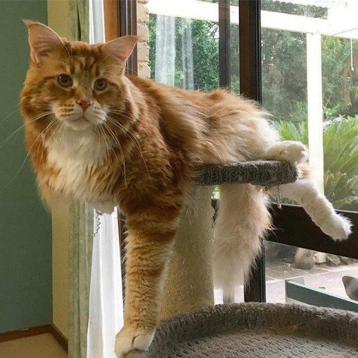 смотреть картинки самой большой кошки в мире фотки таком стиле