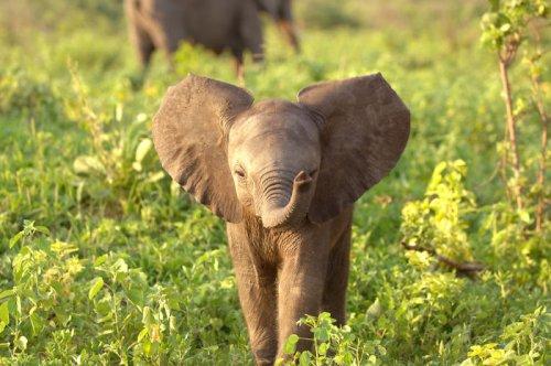 Очаровательные слонята, которые вызовут вашу улыбку (34 фото)