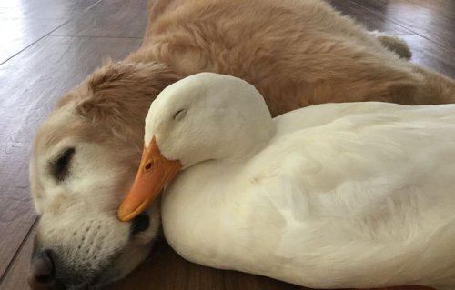 Неожиданная крепкая дружба между ретривером и селезнем (10 фото)