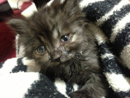 Спасённый котёнок поразил своих хозяев роскошным окрасом (19 фото)