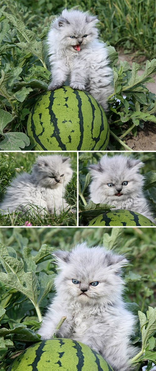 Сердитые котята, которые заставят вас улыбнуться (23 фото)