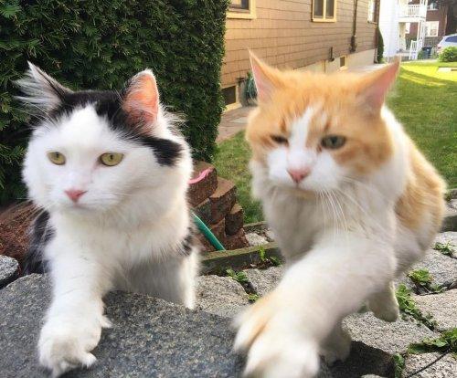Влюблённый кот второй год почти каждый день приходит увидеться с кошкой своей мечты (7 фото)