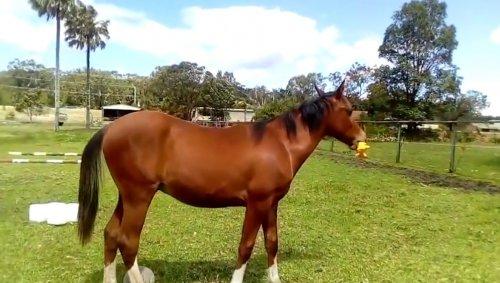 Весёлая лошадь играет с резиновой игрушкой-пищалкой