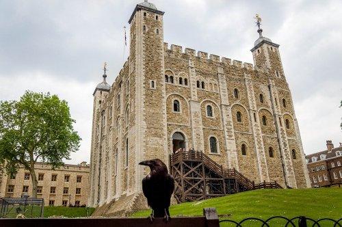 Вороны Лондонского Тауэра (7 фото)