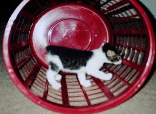 Кошки, которые зачем-то притворяются хомяками (10 фото)