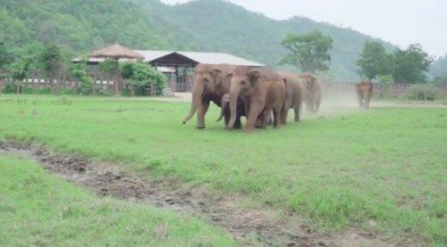 Трогательное видео, как слоны спешат поприветствовать нового спасённого слонёнка