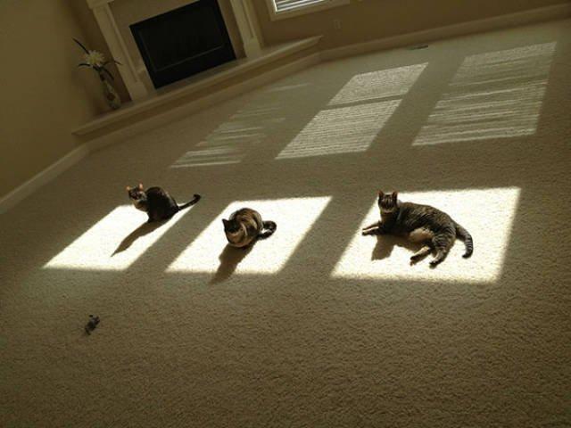 Прелестные кошки, которые по-настоящему умеют наслаждаться солнцем. Часть I (26 фото)