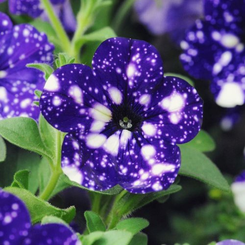 """Петуния """"Ночное небо"""", на цветках которой можно увидеть космос (15 фото)"""
