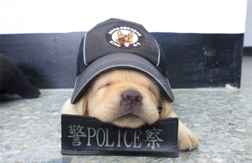 Очаровательное щенячье пополнение в полицейском подразделении К-9 Тайваня (10 фото)