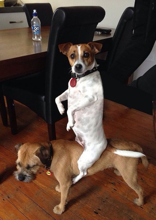 Смешные собаки, которые делают странные вещи (18 фото)