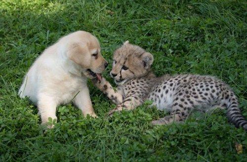 Гепарды настолько робкие существа, что в зоопарках им в компаньоны дают собак (6 фото)