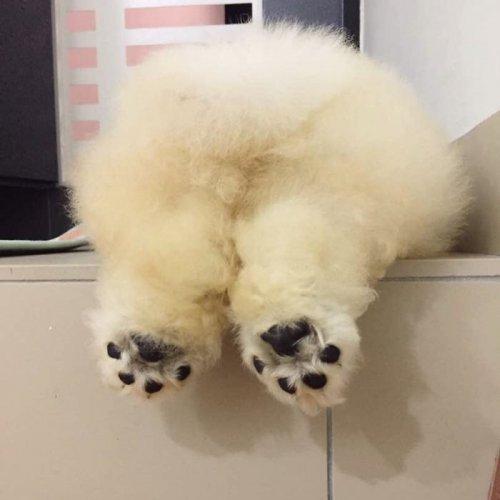 Пуффи — пушистый щенок чау-чау, взявший штурмом Instagram (10 фото)