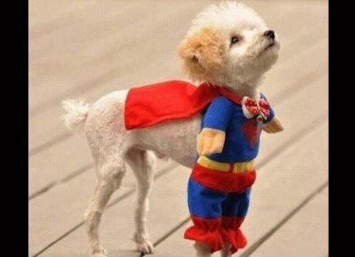 Очаровательные собаки, мечтающие стать супергероями (13 фото)