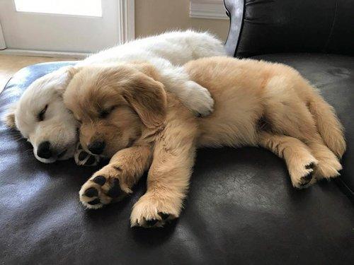 Очаровательные щенки золотистых ретриверов, которые подарят вам улыбку (30 фото)