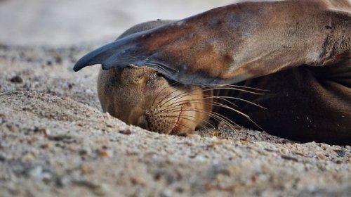 Детёныши морских львов в фотографиях Киннары Босуорт (12 фото)