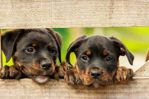 Прелестные щенята, которые вызовут вашу улыбку (25 фото)