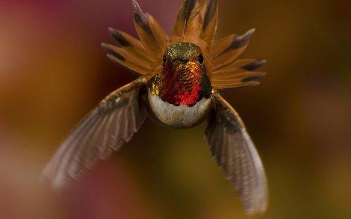 Красочные колибри, запечатлённые на фотокамеру (16 фото)