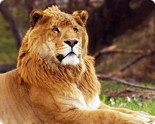 Топ-10: самые интересные факты про лигров