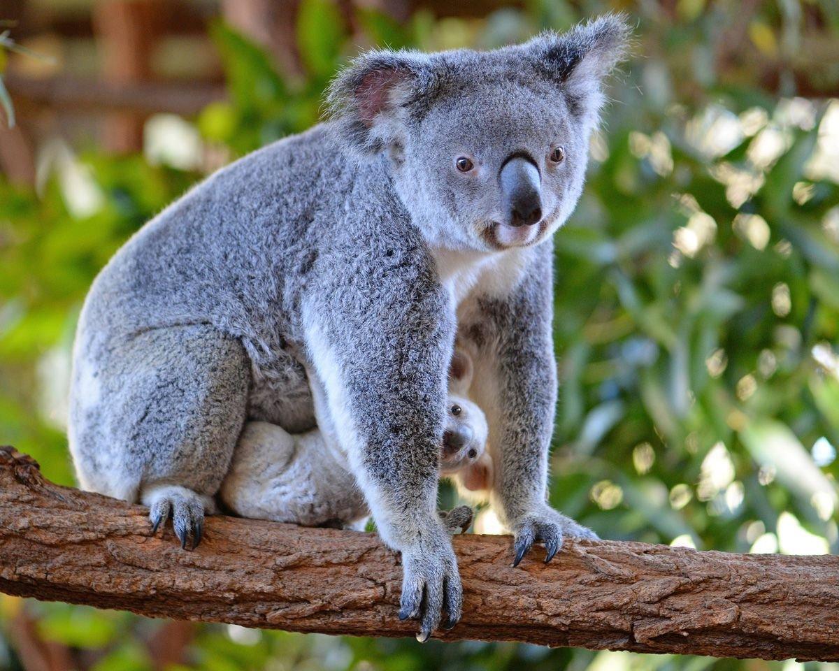 что мне смотреть фото коала всегда можете уточнить