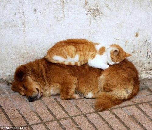 Кошки, заснувшие на собаках (28 фото)