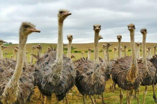 Топ-10: Удивительные и странные факты про страусов