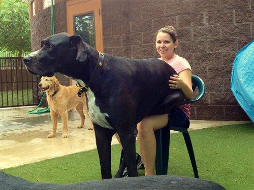 Огромные собаки, которые не прочь впасть в детство (18 фото)