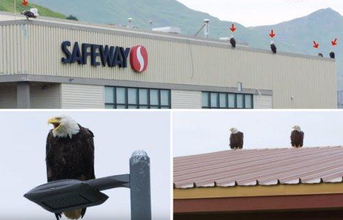 Аляскинский город, в котором вместо голубей — белоголовые орланы (4 фото + 2 видео)