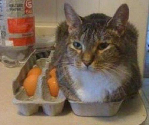 Кошки, которые очень любят мешать (10 фото)