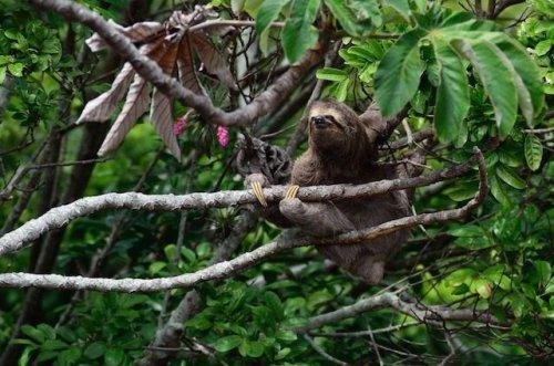 Топ-10: Факты про ленивцев, которые вы, вероятно, не знали
