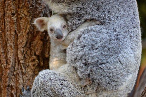 В Зоопарке Австралии родилась редкая белая коала (5 фото + видео)