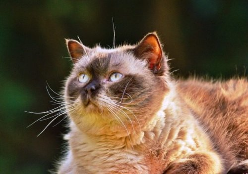 Топ-25: Короткие и милые факты про котов породы манчкин