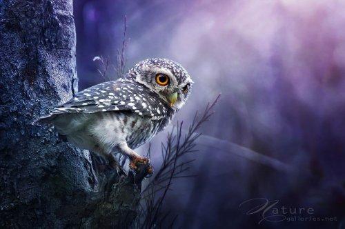 Очаровательные совы через объектив фотографа Sompob Sasi-Smit (13 фото)