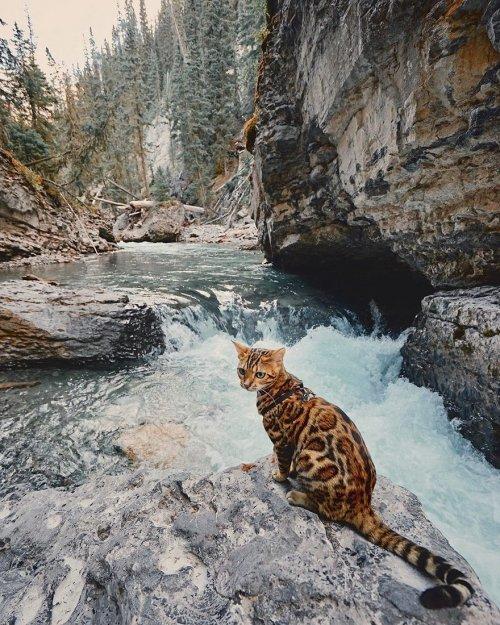 Бенгальская кошка Suki, которая любит путешествовать (19 фото)
